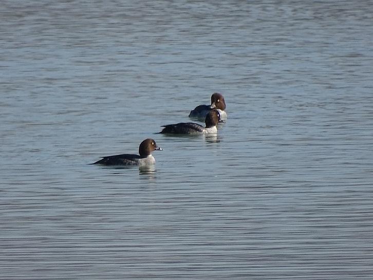 مشاهده ۲۰ قطعه اردک گونه سفیدچشم طلائی برای اولین بار در تالابهای شفت