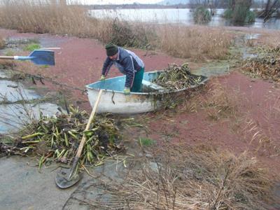 تالاب کیاکلایه لنگرود از سنبل آبی پاکسازی شد