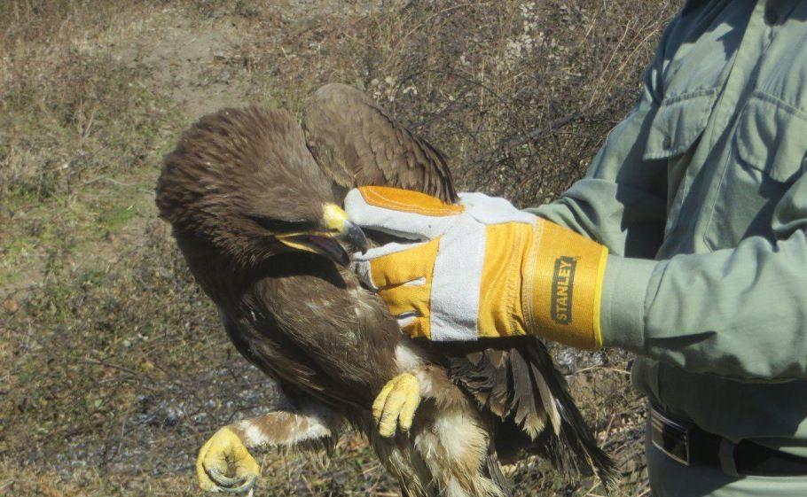 رها سازی دو قطعه قوی فریاد کش و یک بهله عقاب صحرایی در پارک ملی بوجاق