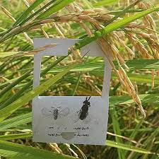 مبارزه بیولوژیک با کرم ساقه خوار برنج در شالیزارهای گیلان