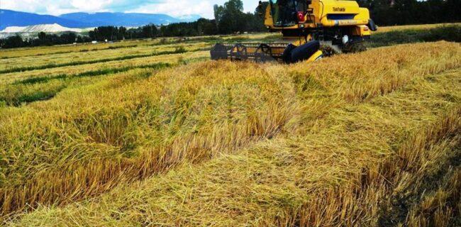 شالیکاران برنج نیازمند اقدامات حمایتی