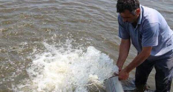 رهاسازی ۱۳۷ میلیون قطعه بچه ماهی تا شهریور در رودخانه های گیلان
