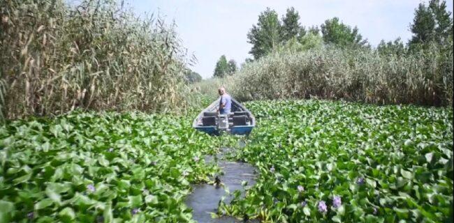 اجرای طرح جمع آوری گیاه سنبل آبی در تالاب بین المللی انزلی