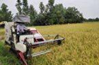 ۵۵ درصد از شالیزارهای گیلان آماده برداشت
