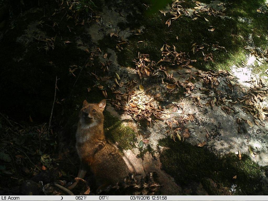 ثبت تصاویر تامل بر انگیز از یک شغال در جنگل های شفت