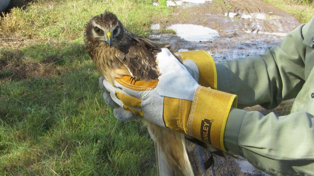 رهاسازی یک پرنده شکاری و یه پرنده مهاجر در آب بندان های آستانه اشرفیه