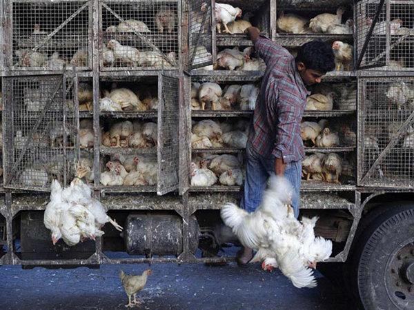 توقیف خودروهای غیر مجاز حامل مرغ زنده در شهرستان لاهیجان