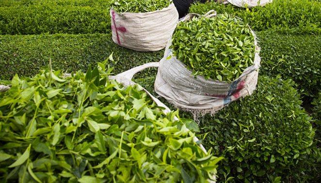 تمدید زمان برداشت برگ سبز چای تا پنجم آبان