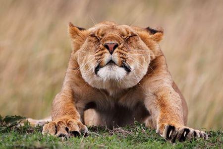 گرامیداشت  روز جهانی حیات وحش با شعار امروز فقط یک کار برای حفاظت از گربه سانان انجام بده