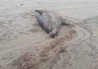 پیدا شدن لاشه دو قلاده فک خزری در سواحل بندر کیاشهر